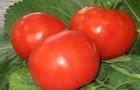 Сорт томата: Кулинар f1