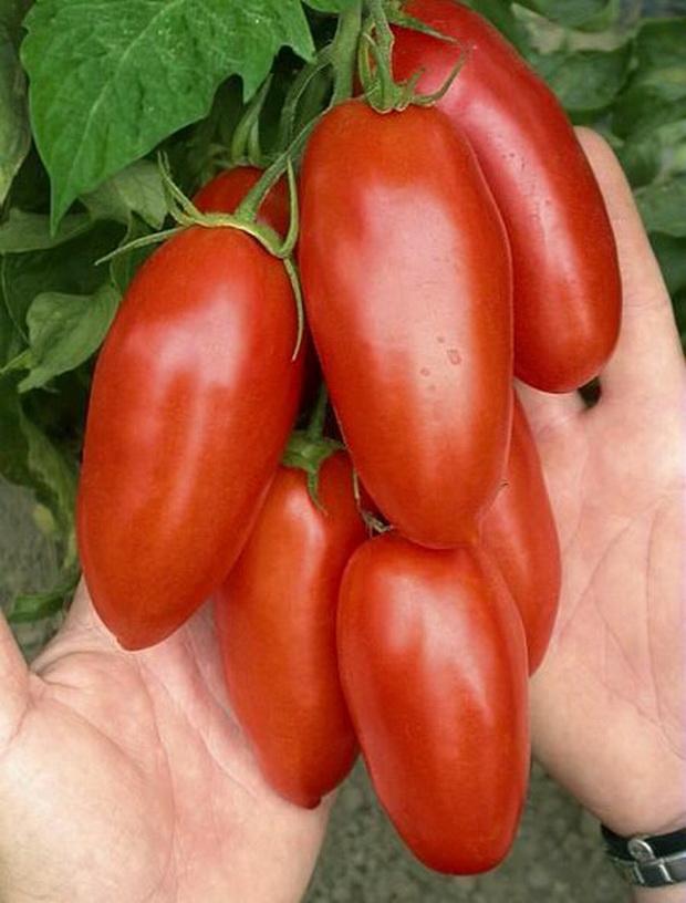 Сорт томата: Ланселот   f1