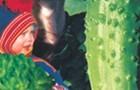Сорт огурца: Лапландия f1