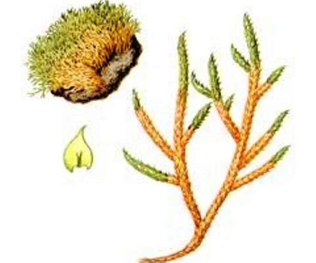 Лептоптеригинандрум южноальпийский