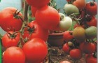 Сорт томата: Летний сад f1