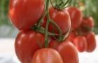 Сорт томата: Лезгинка f1
