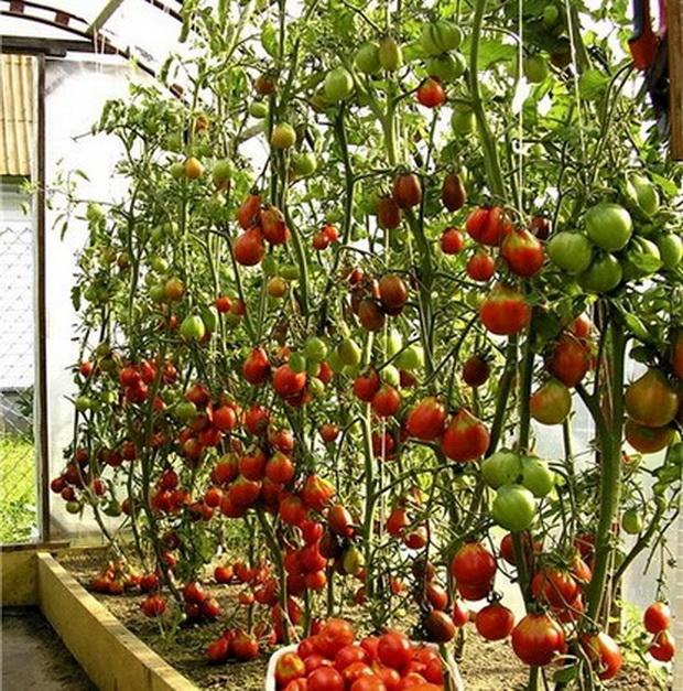 Сорт томата: Лианозово   f1
