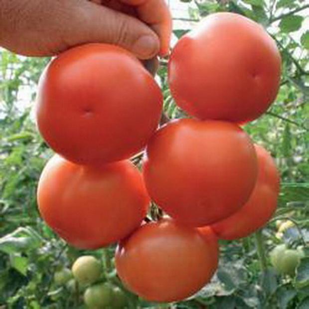 Сорт томата: Лилос   f1