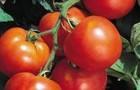 Сорт томата: Лина f1