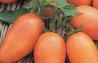 Сорт томата: Лисичка