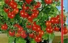 Сорт томата: Лукошко на окошке