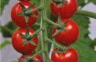 Сорт томата: Мадейра f1