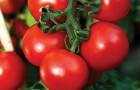 Сорт томата: Мадлена