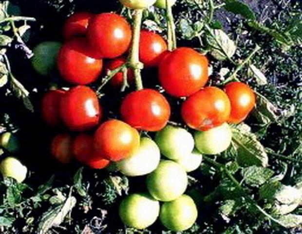 Сорт томата: Магнат