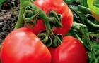 Сорт томата: Маленький принц