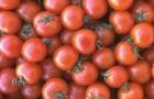 Сорт томата: Малец