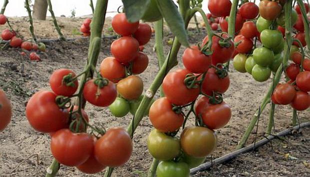 Сорт томата: Малвазия   f1