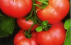 Сорт томата: Мамула f1