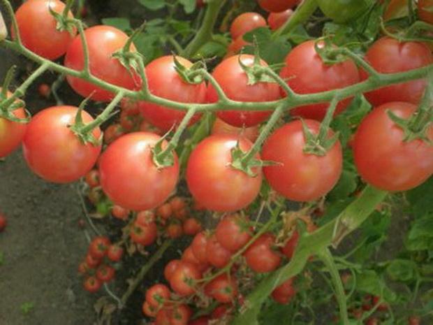 сорт томатов виконт f1