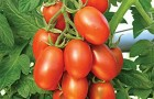Сорт томата: Мария