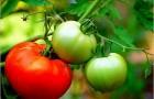 Сорт томата: Мартэз f1