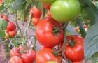 Сорт томата: Матиас f1
