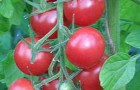 Сорт томата: Маяк
