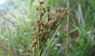 Меч-трава обыкновенная