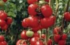 Сорт томата: Медина f1