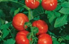 Сорт томата: Мелодия f1