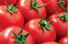 Сорт томата: Минарет f1