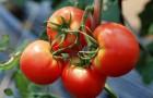 Сорт томата: Минерал f1