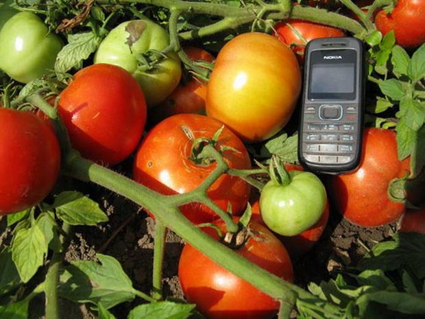 Сорт томата: Мираж
