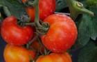 Сорт томата: Мона лиза f1