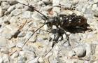 Monochamus sartor