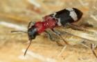 Муравьежук муравьиный