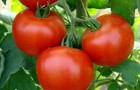 Сорт томата: Надиво f1