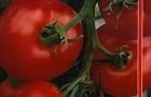 Сорт томата: Настя f1
