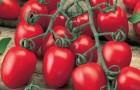 Сорт томата: Настя-сластена f1