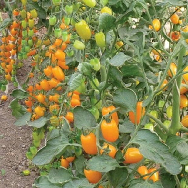 Сорт томата: Наташенька   f1