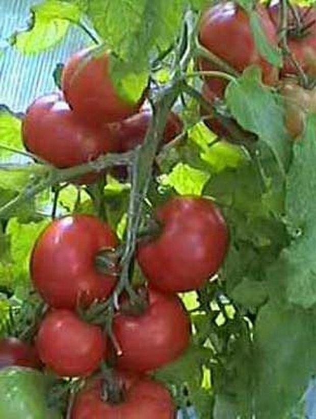 Сорт томата: Натус   f1