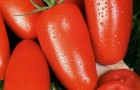 Сорт томата: Неаполь f1