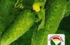 Сорт огурца: Нефрит f1