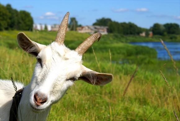 Неинфекционные заболевания коз – Ревматизм
