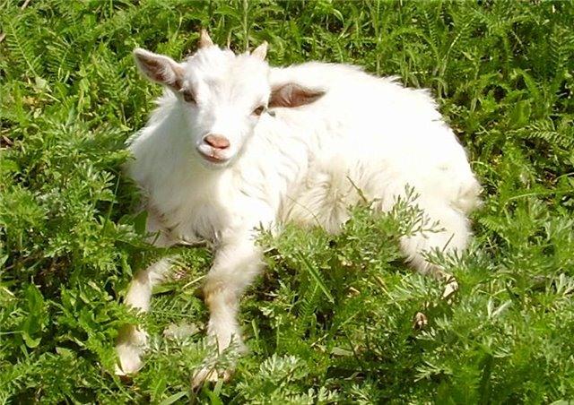 Неинфекционные заболевания коз – Воспаление копыт