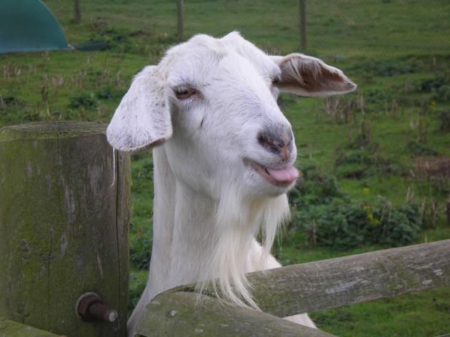 Неинфекционные заболевания коз – Заболевания дыхательной системы