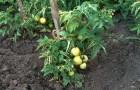 Сорт томата: Непрядва