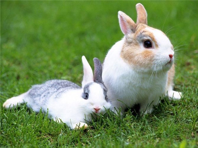 Незаразные болезни кроликов – Гипокальциемия