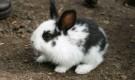 Незаразные болезни кроликов – Витамин В5, или РР