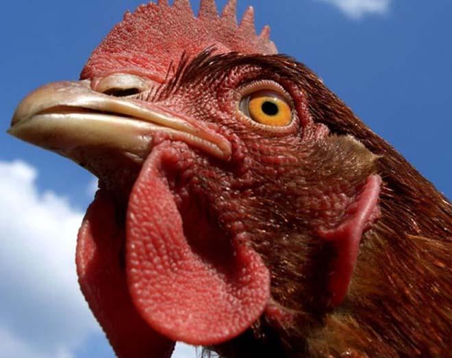 Незаразные болезни кур – Авитаминоз Е