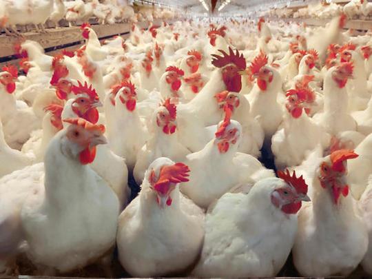 Незаразные болезни кур – Отравление фосфидом цинка