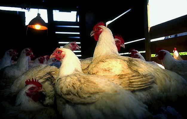 Незаразные болезни кур – Отравление поваренной солью