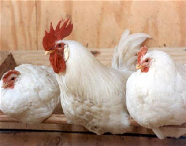 Незаразные болезни кур – Способы введения лекарств птицам