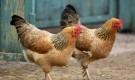 Незаразные болезни кур – В3-гиповитаминоз
